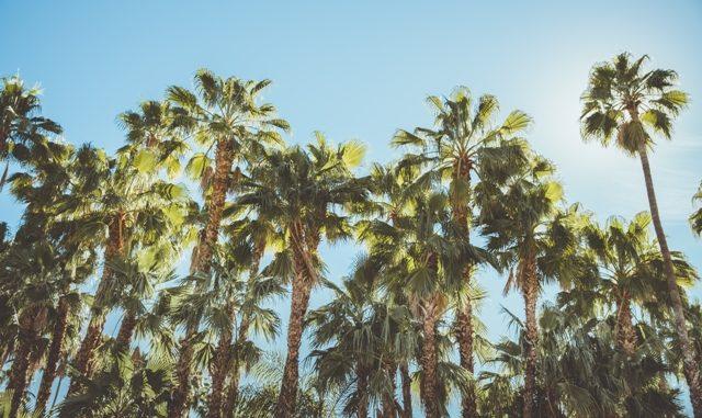 palmier 4 lettres
